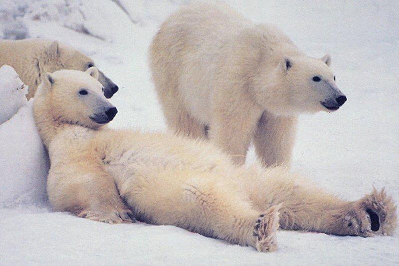 Белых медведей в российской Арктике посчитают к 2024 году